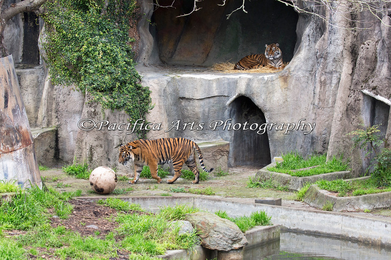 Sumatran Tigers, Jillian & Leanne.  This is one of the last photos I took of them together.  Jillian has gone to live at the Sacramento Zoo now.