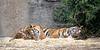 ZZZZzzzz   (Sumatran Tigers, Leanne & Larry)