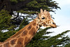 Floyd, way up there!  (Reticulated Giraffe)
