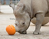 ...then you spear it with your Rhino horn...<br /> (Black Rhino, Boone)