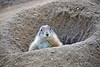 """""""Who's there?""""<br /> A Black-tailed Prairie Dog!"""