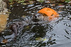 North American River Otter, Trent, playing with his Halloween pumpkin.