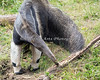 Giant Anteater searching for little critters in the crevices of the log.