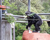 """Minnie has gathered a mouthful of leeks and a bag full of goodies during """"Boo At The Zoo.""""   (Chimpanzee)"""