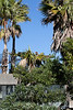 JP, a Patas Monkey, has reached new heights!  Can you spot him on top of the palm tree?