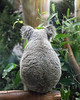 The other side of Cynthia, the Koala!