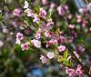 Flowering tree (possibly a Nectarine) near Eagle Island