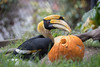 "Great Indian Hornbill, ""Hercules,"" carving a hole in his pumpkin, during Boo At The Zoo."