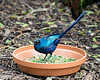 Aptly named, a Long-tailed Glossy Starling!