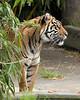 Female Sumatran Tiger, Leanne
