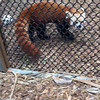 Video of Tenzing, a 3 year old male.  He was partially hand-reared so he is more comfortable around humans than the female red pandas.