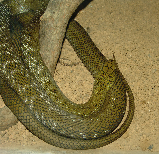 This is NOT a King Cobra although you could mastake it for one. It's a Japanese King Rat Snake.