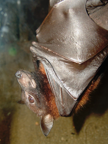 I love fruit bats.  One of the few non reptile animals I would like to have.