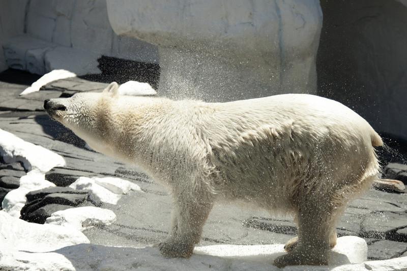 Polar Bear, Sea World San Diego