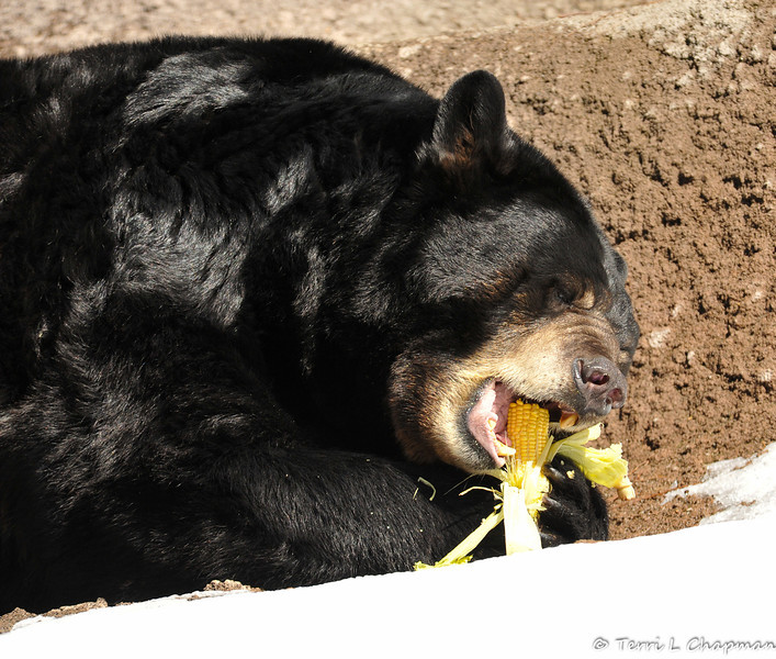 Part of the fun of Snow day is getting to watch the animals eat their food treats. A full corn on the cob was enjoyed by the American Black Bear.