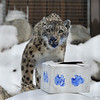 For Snow Day, each animal exhibit had a box filled with treats. Unfortunately, blue water based paint was used to decorate the outside of the box and combined with wet snow, well, the paint came off on the critters. From a photography standpoint, I was not thrilled to capture images of a blue Snow Leopard, but Snow Day is all about enrichment for the animals and this Snow Leopard was loving exploring the goodies of the box.