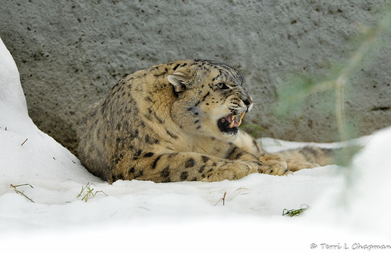 The male Snow Leopard is letting the female Snow Leopard know he is not amused by her approaching him