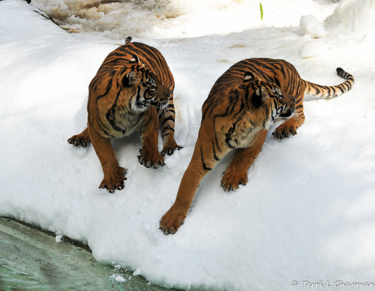 The two Sumatran Tiger brothers, born August 6, 2011 at the Los Angeles Zoo, were distracted by a noise and the tiger on the left side lost his balance in the snow and fell into the water. He could not get a footing on the snow, so he swam to a nearby log dangling in the water to get out. But, he posed for a few moments first (see next photo)!
