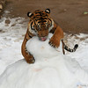 The young tiger is licking a food treat hidden inside the snowman. The snowman had been decorated with bacon eyes and buttons, but of course the meat was quickly eaten!