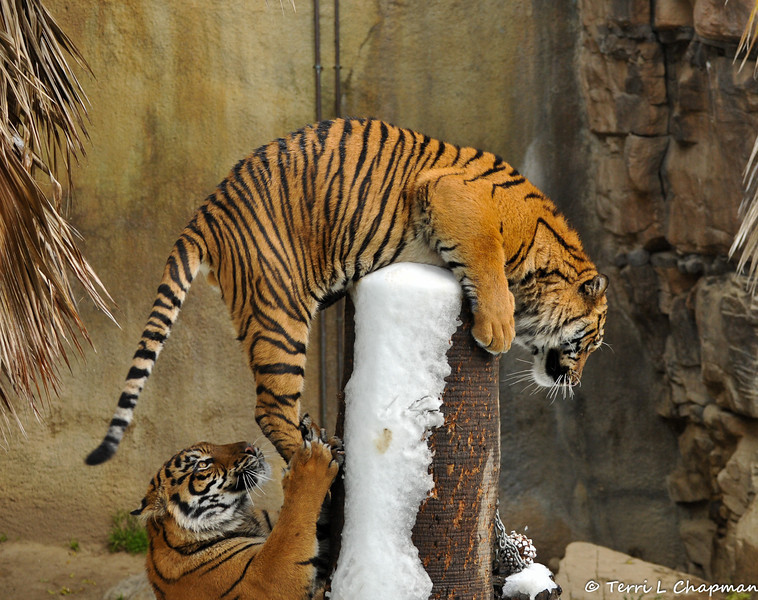 The two Sumatran Tiger brothers, born August 6, 2011 at the Los Angeles Zoo, gave the zoo visitors a show on Snow Day!