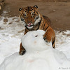 The young tiger is trying to get the food treat hidden inside the snowman. The snowman had been decorated with bacon eyes and buttons, but of course the meat was quickly eaten!