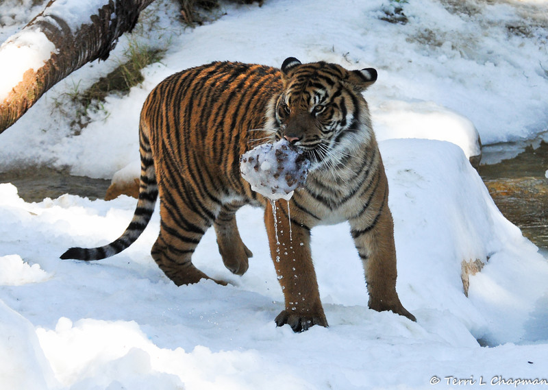 A frozen pinecone became a fun toy for this tiger