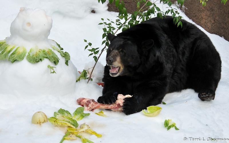 The American Black Bear enjoying the morsels of his snowman!