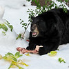 The American Black Bear enjoying the morsels of his snowman!