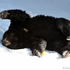 The American Black Bear happily rolled in the fresh snow.