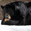 A coconut treat for the American Black Bear.
