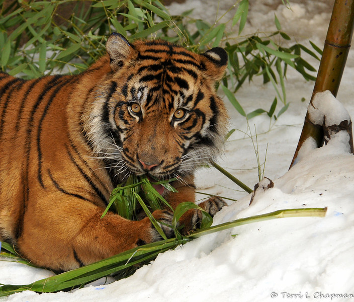 A palm frond is being ripped apart by this tiger as he works to get to the meat pieces hidden inside.