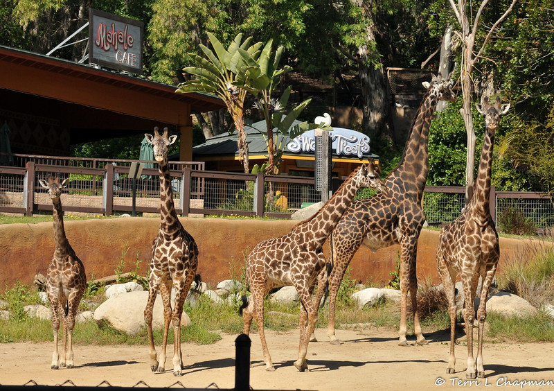 As Sofie turned 1 years old, the number of giraffes living with her grew by two as the zoo acquired young Masai Giraffes from other zoos. Sofie is the smallest giraffe featured on the left hand side of the picture.