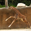Baby Sofie takes a run around her exhibit