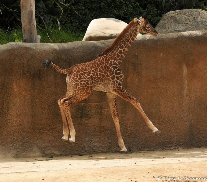 Baby Sofie takes a run around her exhibit