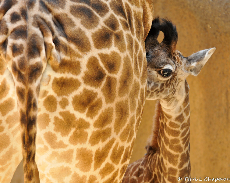 Baby Sofie hiding behind her mother, Hasina