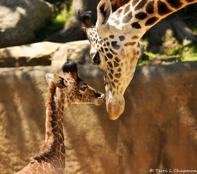Baby Sofie and her mother, Hasina, photographed on Mother's Day. What could be cuter than a 3 week old baby giraffe kissing her mother???