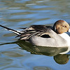 Common Pintail.  Another fun reflection.