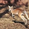 Kangaroo.