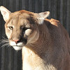 Puma.  Cougar.  Mountain Lion.  Doing his best Nicholas Cage Perplexed Look.