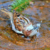 House Sparrow taking a bath