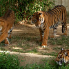 The young Sumatran tigers, Guntur (male), Melati, and Maharani (both female), June 23, 2007.  National Zoo, Washington, DC.