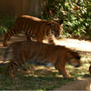 Tiger cubs play keep away, June 23, 2007,  National Zoo, Washington, DC.