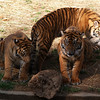 The Sumatran tiger cubs, born May 2006, are Guntur (male), Melati and Maharani (both female), March 27, 2007, National Zoo, Washington, DC.