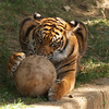 Young Sumatran tiger with ball, June 23, 2007,  National Zoo, Washington, DC.