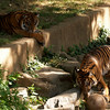 Young Sumatran tigers play keep away, June 23, 2007,  National Zoo, Washington, DC.