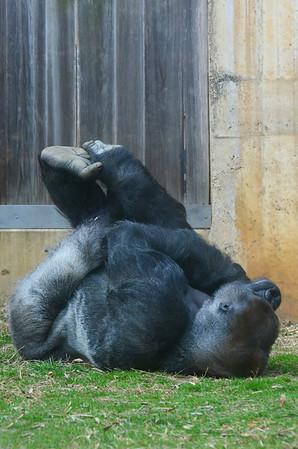 Silver backed male Baraka is the father of Kibibi. Western lowland gorilla. National Zoo, Smithsonian Institution, Washington DC, March 2014.