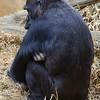 Mandara has four children, Kibibi is the youngest. Western lowland gorilla. National Zoo, Smithsonian Institution, Washington DC, March 2014.