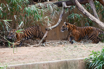 Sumatran tiger cubs Bandar and Sukacita turned seven months old in March 2014. National Zoo, Smithsonian Institution, Washington DC, March 2014.