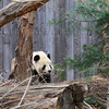 Father Tian Tian prowls the exterior perimeter. National Zoo, Smithsonian Institution, Washington DC, March 2014.