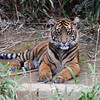 Sumatran tiger cub Bandar or Sukacita. National Zoo, Smithsonian Institution, Washington DC, March 2014.